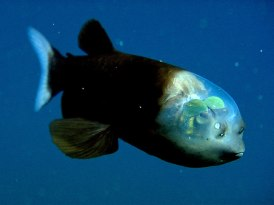 fish-with-transparent-head-barreleye-spook-fish-1